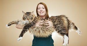 أضخم قط ماين كون في العالم ( dailymail.co.uk )