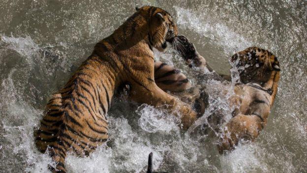 صور نمور نمر عالم الحيوان اسود صورة
