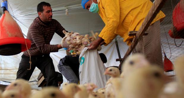 """أستنفار في مصر لمكافحة """"انفلونزا الطيور"""" بعد ظهور 3 بؤر بـ3 محافظات"""