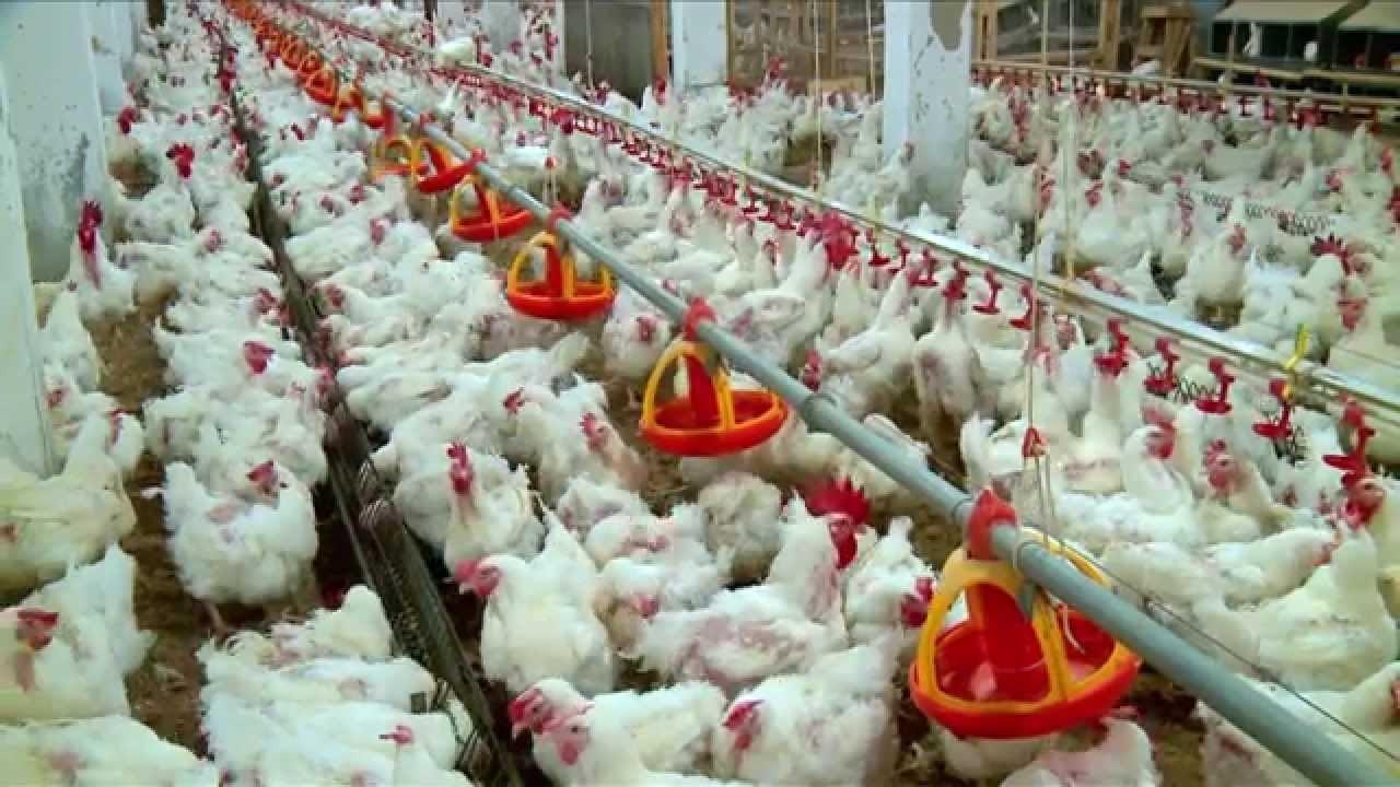 وزير الزراعة مهدداً مربي الدواجن: سنفتح الاستيراد اذا بقي سعر البيض بالارتفاع