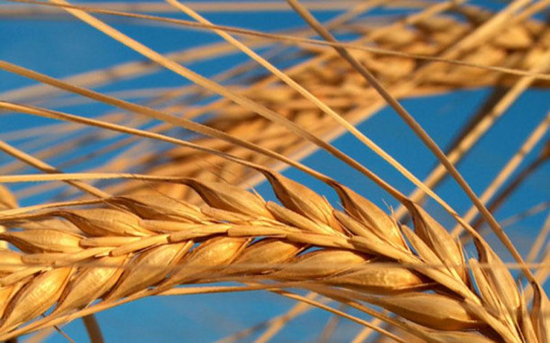 العراق يوقع عقود لاستيراد 360 الف طن من الحنطة والرز