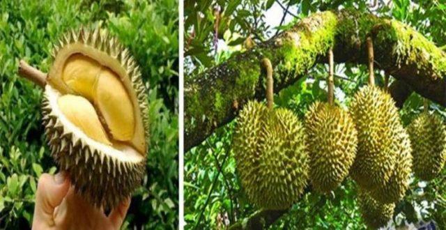 فاكهة رائحتها كريهة تباع بأسعار باهظة في إندونيسيا