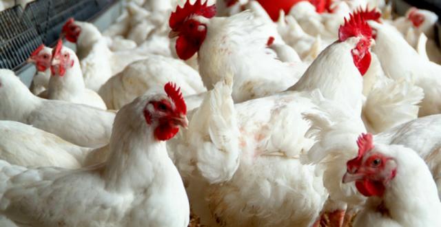من أجل دعم المنتج المحلي .. الزراعة تعتزم اعداد خطة لاستيراد البيض و الدجاج