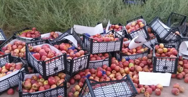 هيأة المنافذ تعلن إتلاف شحنة تفاح غير مسموح باستيرادها في الشيب