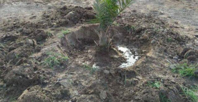 أمانة بغداد: زراعة 1700 فسيلة نخيل غرب بغداد
